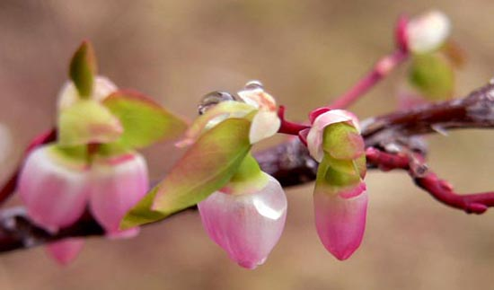 detail photo of blueberry bush blossoms