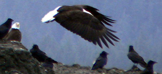 eagles flying near ravens in southeast alaska juneau